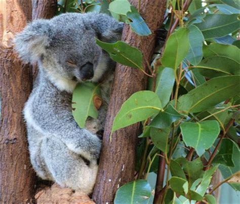 The Word Koala Means No Water
