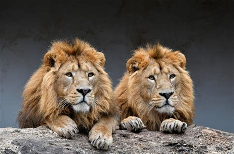 The new threat faced by India's Asiatic lions | SBS Your
