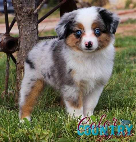 Lori Blue Merle Male | Color Country Aussies