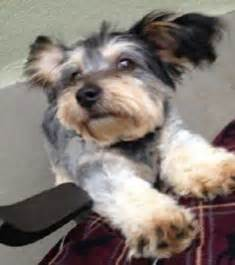 havanese mix on Pinterest | Havanese Dogs, Poodle and