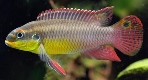 Dwarf cichlid has infrared vision — Seriously Fish
